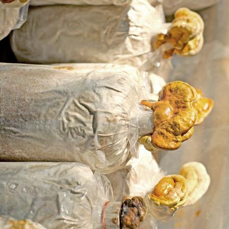 chinese traditional medicine lingzhi mushroom, ganoderma lucidum in nursery bag