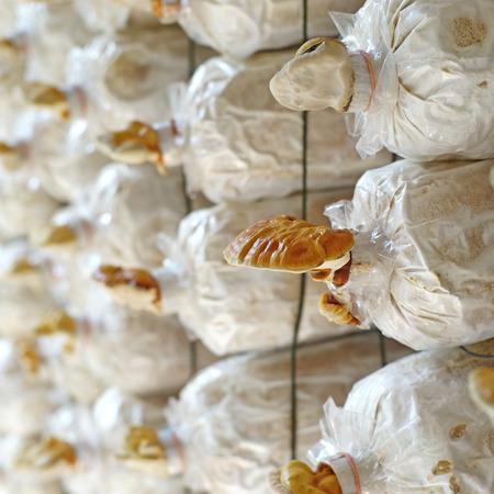 traditional medicine: chinese traditional medicine lingzhi mushroom, ganoderma lucidum in nursery bag