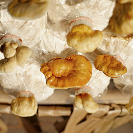 lucidum: chinese traditional medicine lingzhi mushroom, ganoderma lucidum in nursery bag