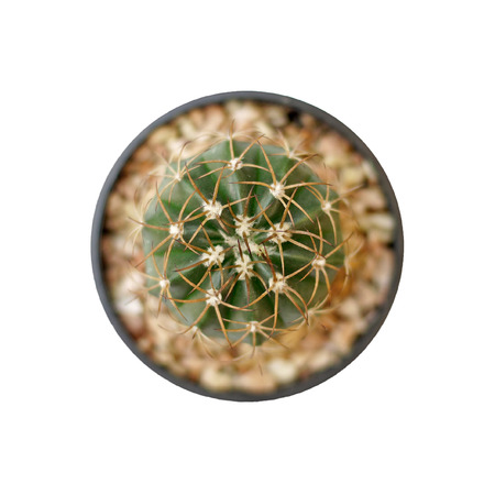 closeup of the beautiful cactus  isolated on white background