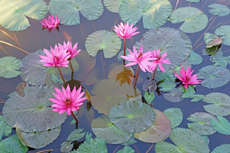 fields of flowers: beautiful lotus flower in the pond