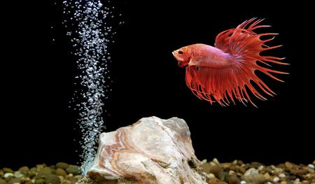 half moon tail: betta fish, siamese fighting fish in aquarium