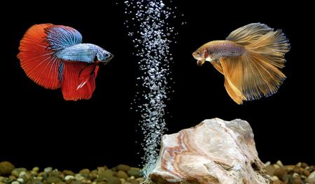 half moon tail: two betta fish, siamese fighting fish in aquarium