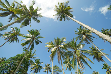 pile of coconut tree with sky background Stock Photo
