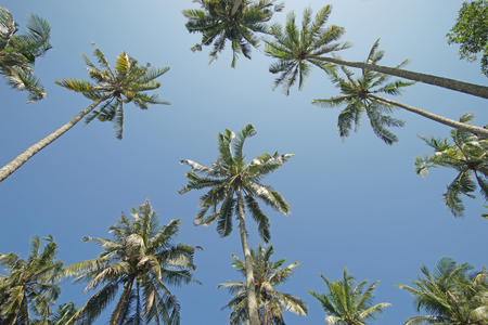 vitamin store: pile of coconut tree with sky background Stock Photo