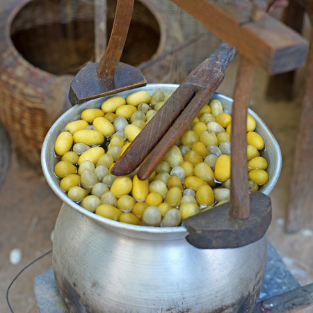 cocoon: boiling cocoon in a pot  to making silk thread