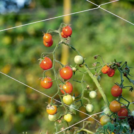 tomate de arbol: reina, uva o cereza tomate tomates colgando de los árboles Foto de archivo
