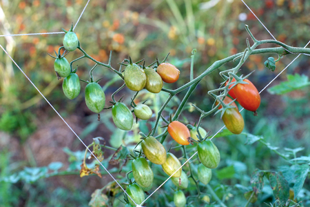 tomate de arbol: tomato queen, grape or cherry tomatoes hanging on tree
