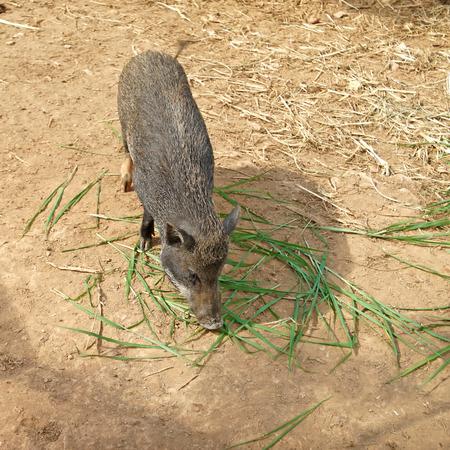 scrofa: sus scrofa or wild boar in the zoo