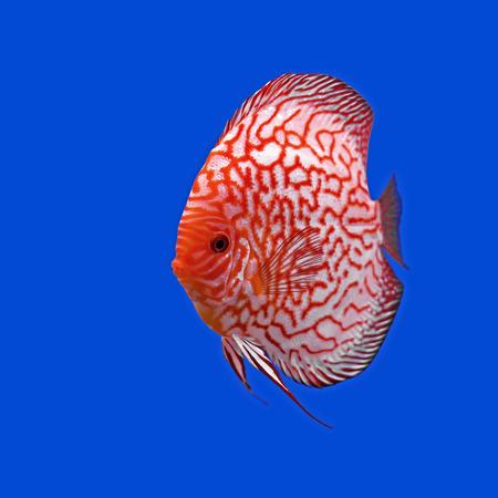 symphysodon: pompadour or symphysodon fish in the aquarium