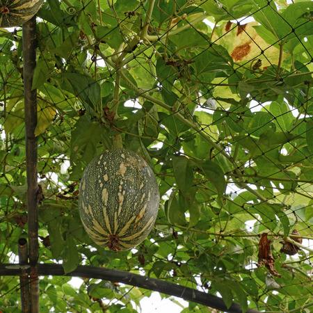 cucurbita: squash cushaw pumpkin or cucurbita mixta on tree in organic farm Stock Photo