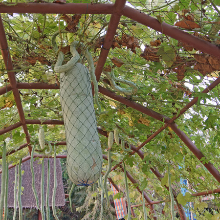 Kürbis oder Wintermelone auf Baum im Gemüsegarten