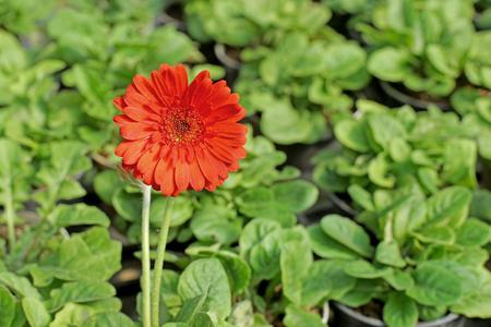 barberton daisy: beautiful gerbera or Barberton daisy flower in garden