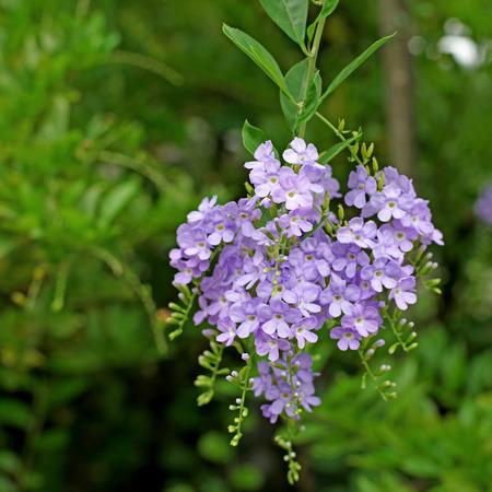 auriculata: beautiful plumbago auriculata flower in the garden