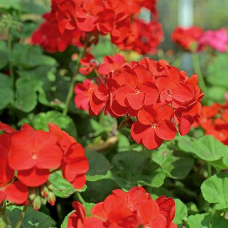 auriculata: beautiful red plumbago auriculata flower in the garden Stock Photo