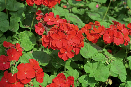 auriculata: beautiful red plumbago auriculata flower in the garden Stock Photo