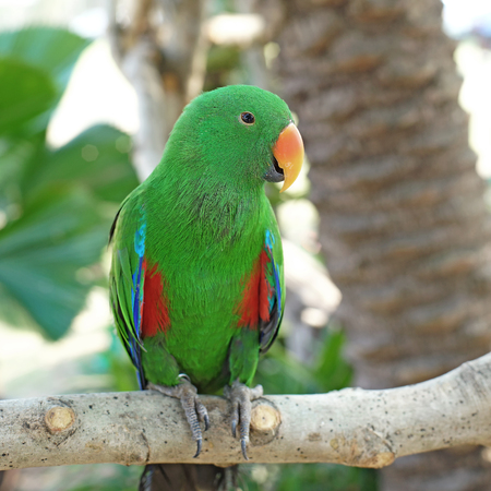 eclectus parrot: closeup of green eclectus parrot (eclectus roratus)