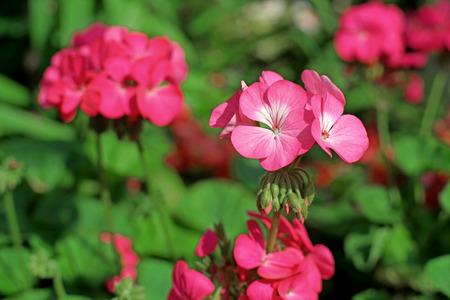 auriculata: beautiful pink plumbago auriculata flower in the garden