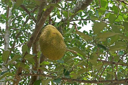 vitamin store: young jackfruit on jackfruit tree
