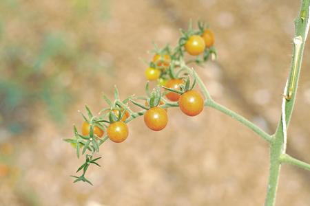 tomate de arbol: reina, uva o cereza tomate tomates colgando de los �rboles Foto de archivo