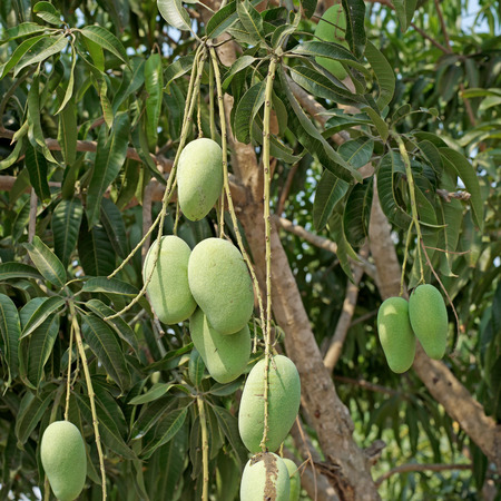 mango tree: young mango on mango tree