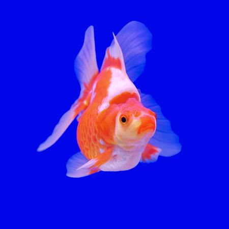 ranchu: beautiful goldfish in the aquarium
