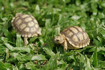 sulcata: closeup of african spurred tortoise or geochelone sulcata