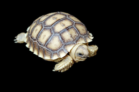 sulcata: african spurred tortoise or geochelone sulcata isolated on black background