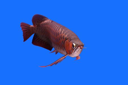 arowana: beautiful arowana in the aquarium