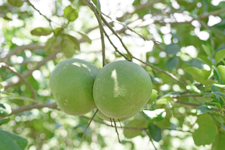pomelo: young pomelo on tree in organic farm