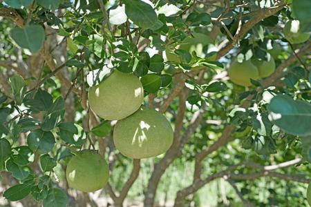 vitamin store: young pomelo on tree in organic farm