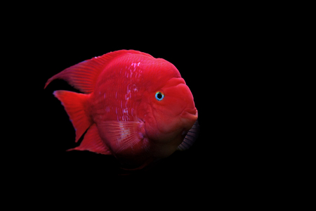cichlid: flowerhorn cichlid or cichlasoma fish  isolated on black background Stock Photo