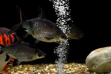 cyprinidae: pile of carp fish in the aquarium