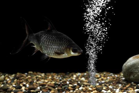 cyprinidae: photo of carp fish in the aquarium