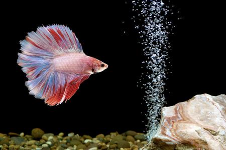 fishbowl: betta fish, siamese fighting fish in fishbowl