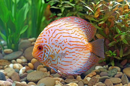 pompadour or symphysodon fish in the aquarium