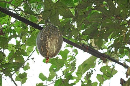 squash cushaw pumpkin or cucurbita mixta on tree in organic farm Stock Photo