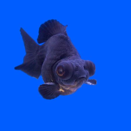 black moor: beautiful black moor goldfish in the aquarium   Stock Photo
