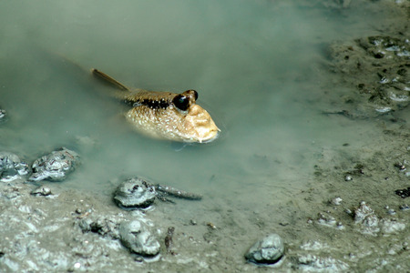 mudskipper or amphibious fish in mangrove forest Stock Photo