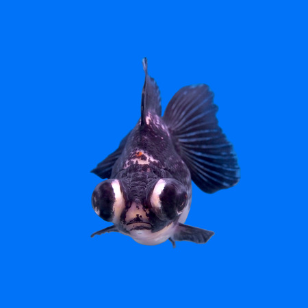 beautiful black moor goldfish in the aquarium   Stock Photo