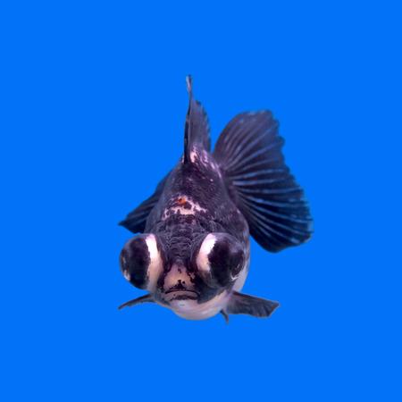 moor: beautiful black moor goldfish in the aquarium   Stock Photo