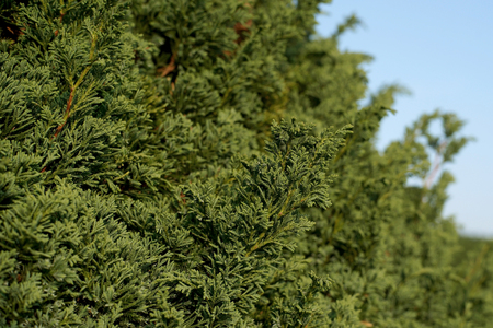 conifer: green conifer, closeup of thuja tree as nature background Stock Photo