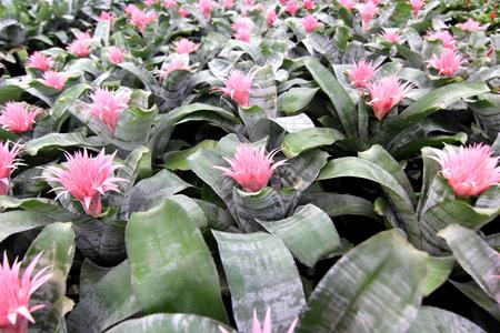 pink bromeliad guzmania magnifica flower in garden