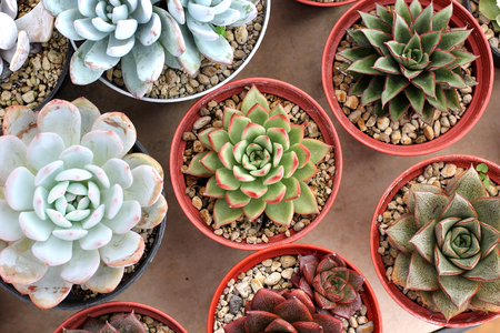 prick: miniature echeveria succulent plant in flower shop Stock Photo