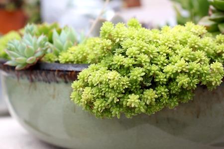 beautiful miniature echeveria succulent plant  in flowerpot
