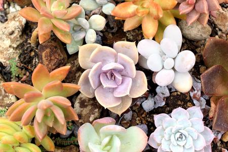 many kind of miniature echeveria succulent plant