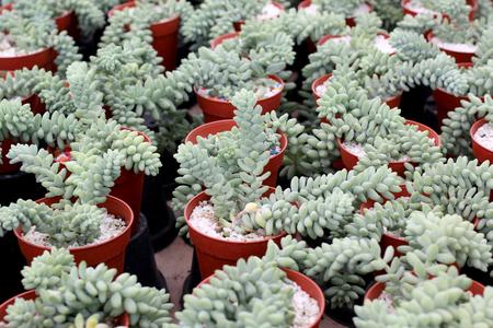 miniature echeveria succulent plant in flower shop Stock Photo