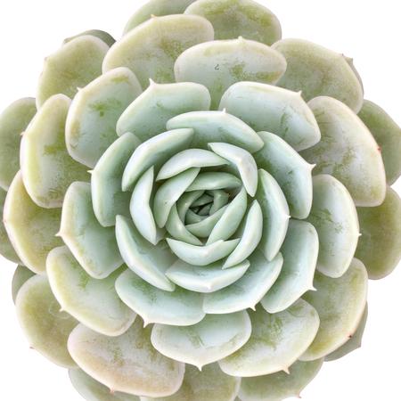 closeup of miniature echeveria succulent plant isolated on white background Stock Photo