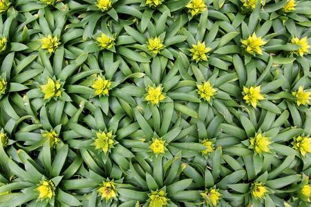 yellow bromeliad guzmania magnifica flower in garden