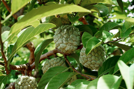 custard apple fruit on tree in organic farm